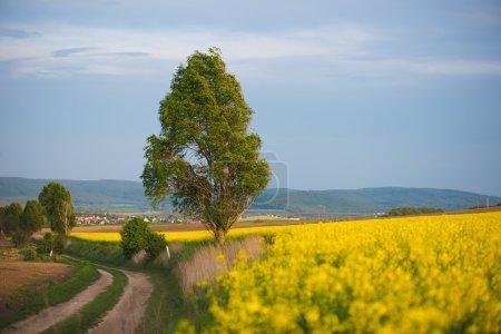 Photo pour Route de campagne dans le champ de fleurs de colza. Paysage agricole . - image libre de droit