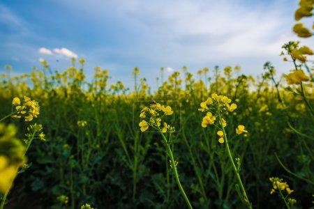 Photo pour Abeille sur fleur de colza, pollinisation sous le ciel bleu. Paysage agricole . - image libre de droit