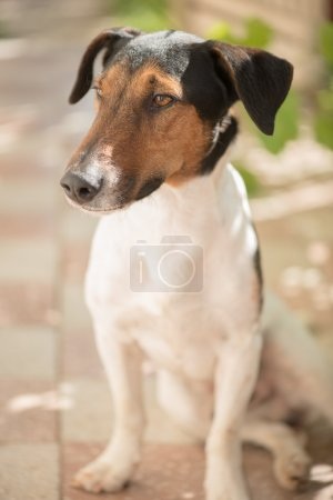 Smiling Jack Russel terrier dog. Pleased dog with big nose posing in garden.
