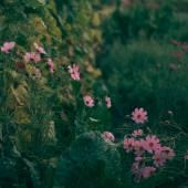 Rosa garten blumen