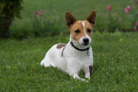 Cute jack russell terrier dog sitting in grass