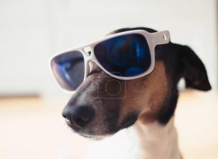 Terrier-Hund mit Sonnenbrille