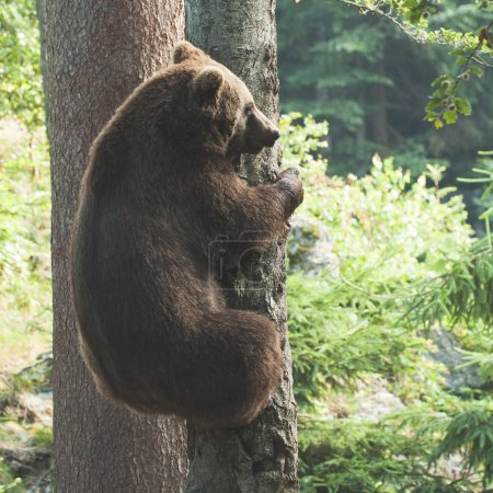 Brown Bear climbing on a tree