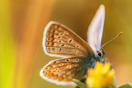 Beautiful buttefly feeding and flying over yellow flower, natura