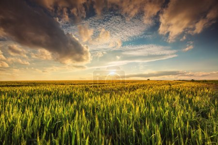 Photo for Green wheat field , sunset shot - Royalty Free Image