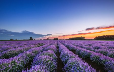 Photo for Sunrise and dramatic clouds over Lavender Field - Royalty Free Image