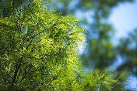 Photo pour Temps de printemps. Pin vert arbre againts bleu ciel comme une toile de fond - image libre de droit