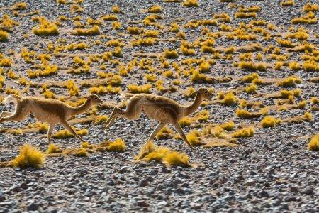 Photo for Guanaco (Lama Guanicoe) in Patagonia - Royalty Free Image