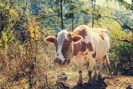 brown Cow on pasture