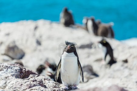 Rockhopper penguins in Argentina