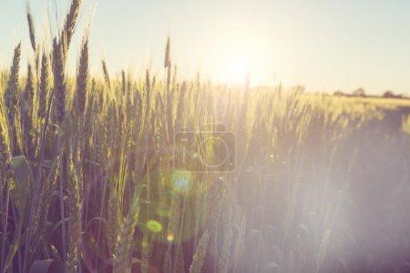 Wheat field, close up