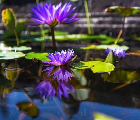 Lotus on water
