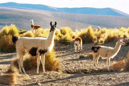Foto de Rebaño de Llamas en Bolivia - Imagen libre de derechos