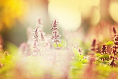 Photo pour Fleurs de menthe sur la pelouse en plein soleil - image libre de droit