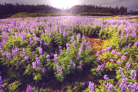 Mountain meadow in Alaska
