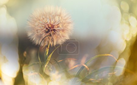 Dandelion with place for text