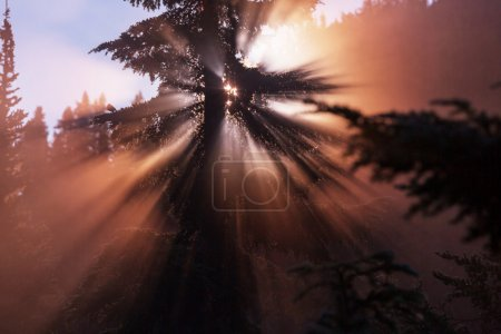 Photo for Sunbeams in morning summer forest - Royalty Free Image