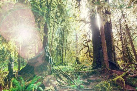 Photo pour Forêt dans le Parc National Olympique, Washington - image libre de droit