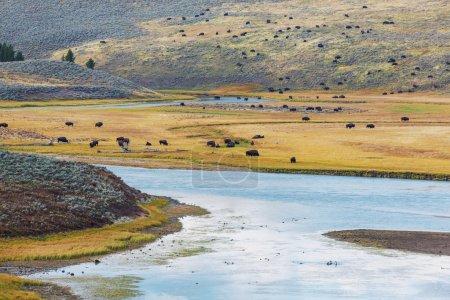 Herd of buffaloes in Yellowstone