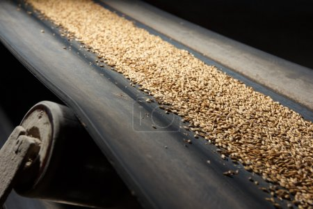 conveyor belt with barley