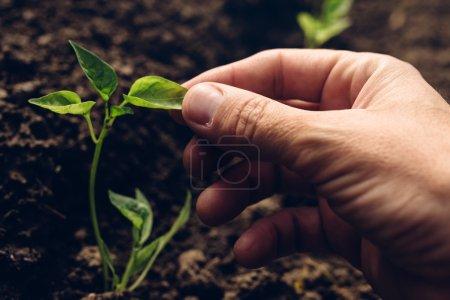 Farmer controlling growth of pepper plants in vege...