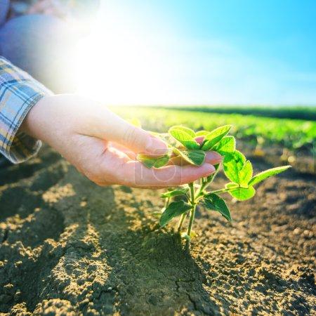 Female farmer's hands in soybean field, responsible farming