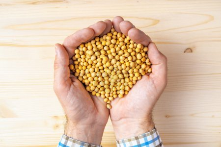 Handful of harvested soybeans, top view