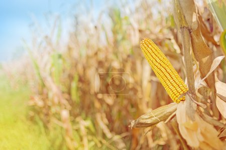 Photo for Ripe maize on the cob in cultivated agricultural corn field ready for harvest picking - Royalty Free Image