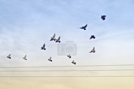 Flock of Pigeons flying over Power wires....