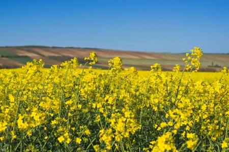 Photo pour Fleurs de colza oléagineux dans les champs agricoles cultivés, Protection des cultures Agrotech Concept - image libre de droit