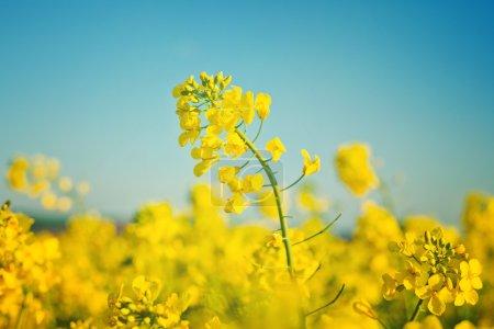 Photo pour Fleurs de colza oléagineux dans un champ agricole cultivé, concept Agrotech de protection des cultures, gros plan avec une concentration sélective et une profondeur de champ étroite - image libre de droit