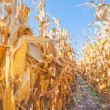 Harvest ready maize ear on stalk in cultivated cor...