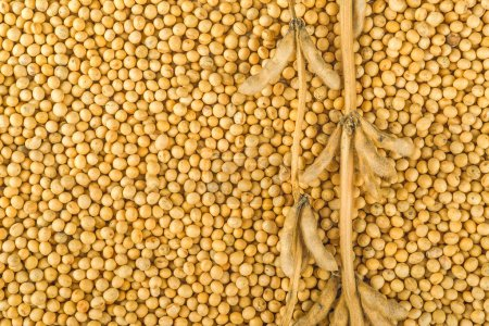 Soybean plant, pods and beans harvested from culti...