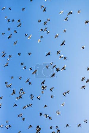 Flock of pigeons flying across the sky