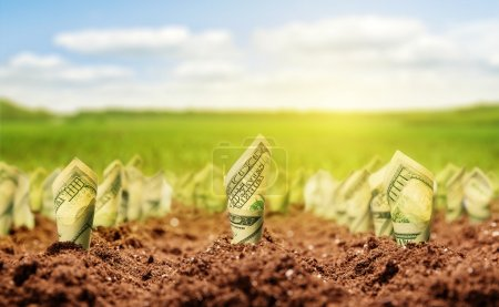 Photo for American dollars grow on the garden bed on a meadow - Royalty Free Image