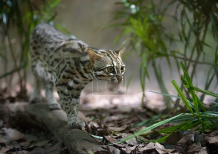 Leopard cat hunting