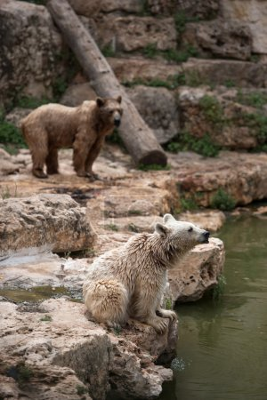 Syrian brown bears resting on a river bench