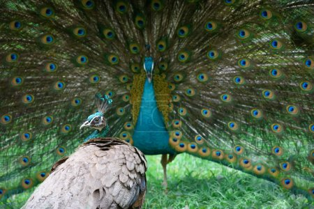 Photo for Peacock shows its beautiful tail, but peahen is not impressed - Royalty Free Image