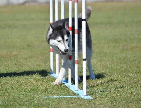 Photo pour Husky sibérien tissant à travers les pôles lors d'un essai d'agilité pour chien - image libre de droit