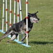 Постер, плакат: Mixed Breed Dog at Agility Trial