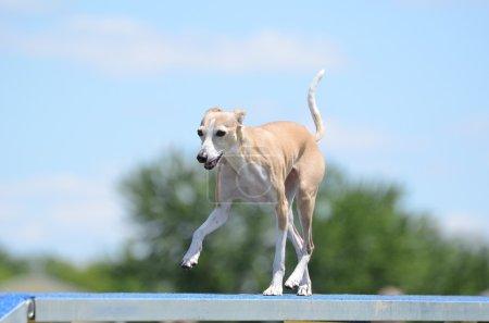 Italian Greyhound at Dog Agility Trial