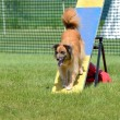 Постер, плакат: Pyrenean Shepherd at Dog Agility Trial