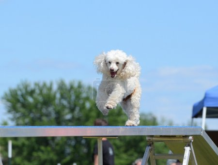 Miniature Poodle at a Dog Agility Trial