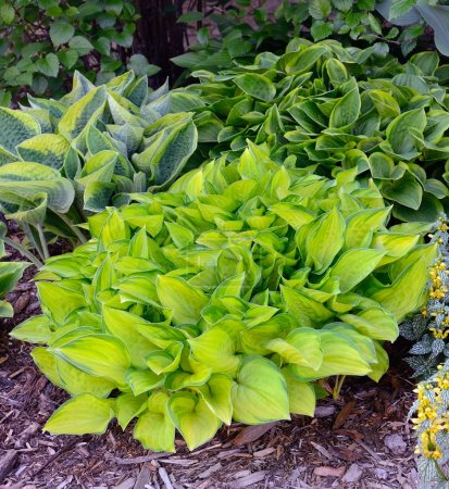 Green and Gold Variegated Hostas
