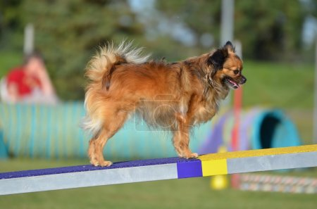 Long Coat Chihuahua a Dog Agility Trial
