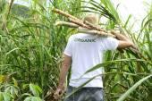 Mezőgazdasági szállító cukornád
