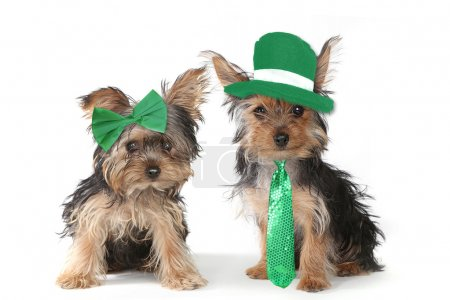 Yorkshire Terrier Puppies Celebrating Saint Patricks Day