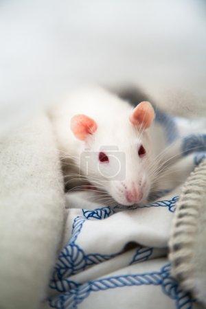 Two pet rats