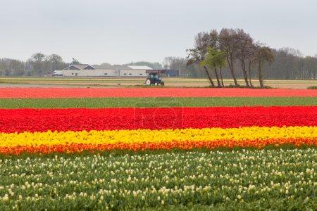 Photo pour Terrain de tulipes rouges aux Pays-Bas - image libre de droit