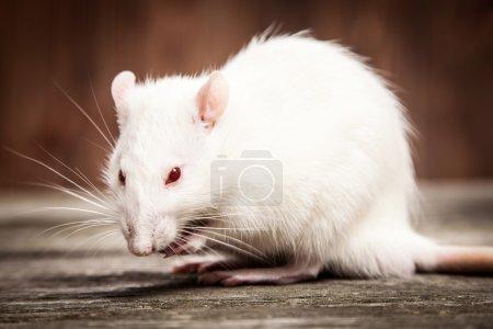 Pet rat closeup